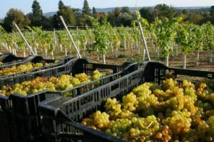 Stopham Vineyard harvest